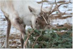 reindeer tossing a tree